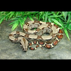 Colombian Red Tail Boas (Babies)