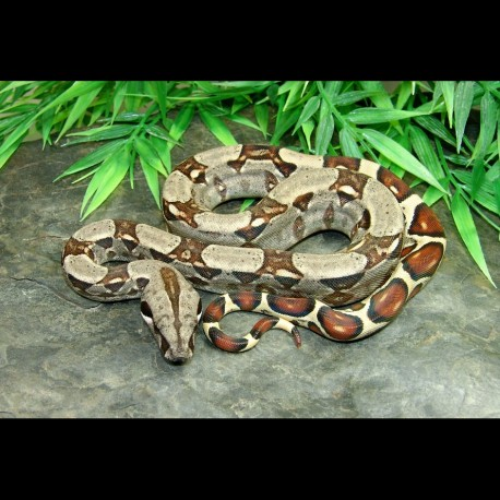 Colombian Red Tail Boa