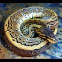 Pinstripe Ball Pythons (Babies)