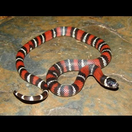Black Milk Snakes (Babies)