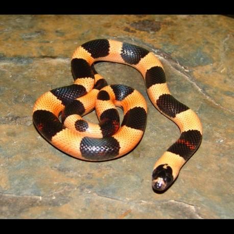 "Pueblan Milk Snakes - Apricot ""Halloween Phase"" (Baby)"