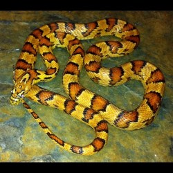 Hybrid Snakes For Sale - The Serpentarium, Inc