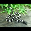 California Kingsnakes - Banded (Babies)