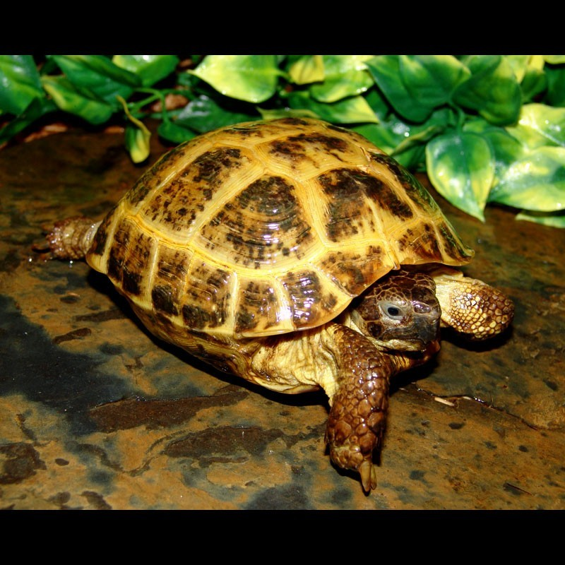Russian Tortoise Testudo Horsfieldii