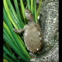 Mississippi Map Turtles (Babies)