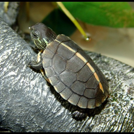 Southern Painted Turtles (Babies)