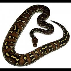Angolan Pythons (Babies)