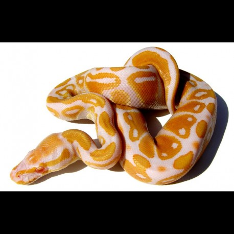 Albino Ball Pythons - High Contrast (Babies)