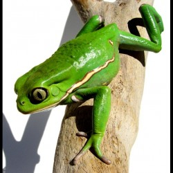 Waxy Monkey Tree Frogs