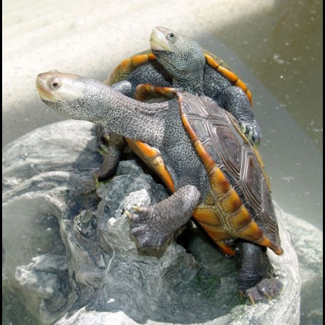 Northern Diamondback Terrapins (Babies)