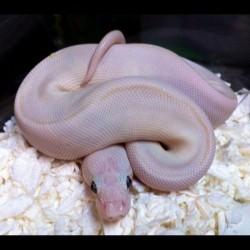 Blue-eyed Lucy Ball Python (Babies)