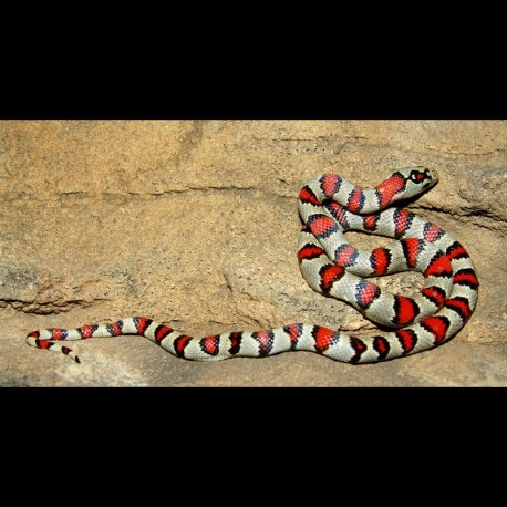 Durango Mountain Kingsnake (2011 Female)
