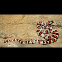 Durango Mountain Kingsnakes (Babies)