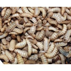 Phoenix Worms