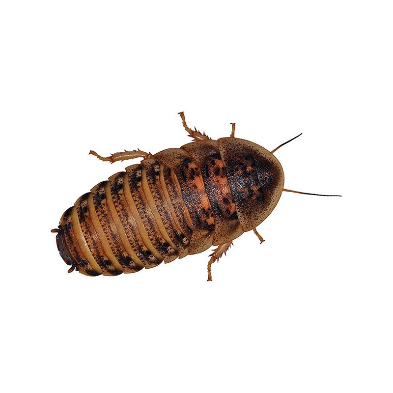how to keep dubia roaches