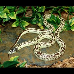 Reverse Stripe Banana California Kingsnake (2008 Female)