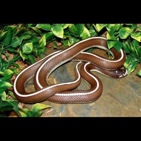 Striped California Kingsnake (2007 Male)