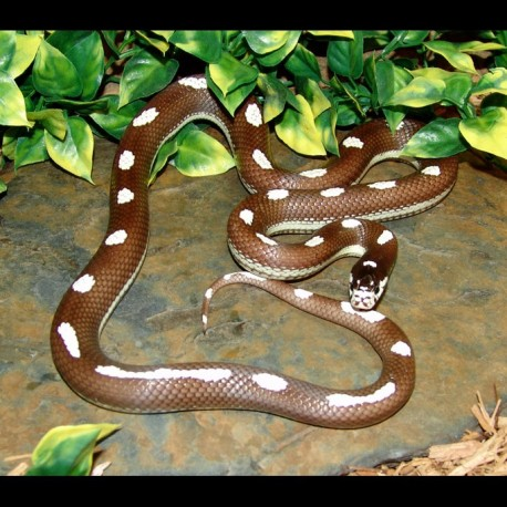 Dot-Dash California Kingsnake (2007 Male)