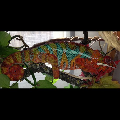 Ambilobe Panther Chameleons - Blue Bar (Babies)