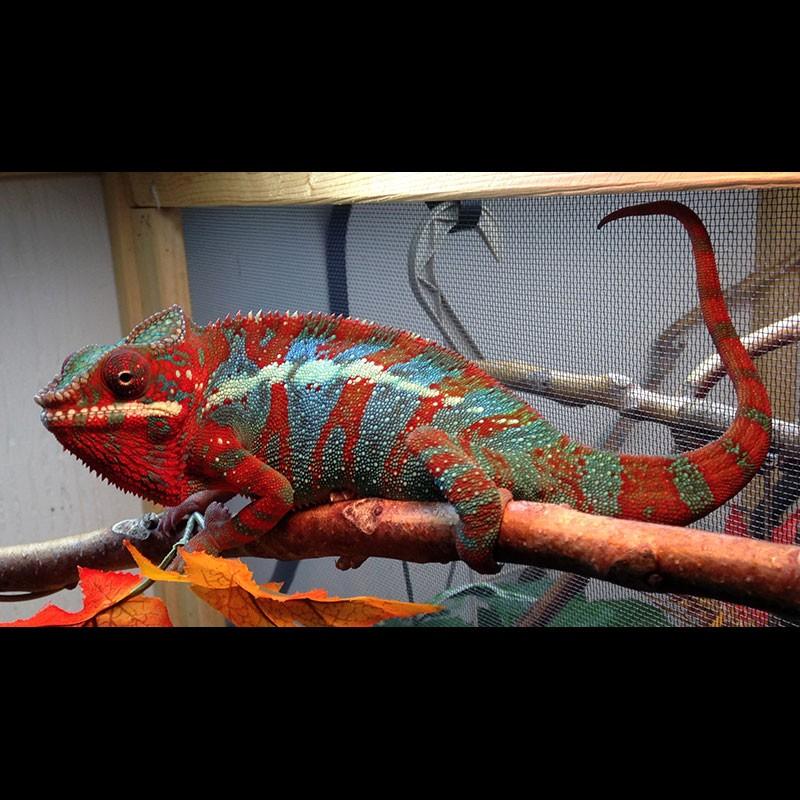 Blue Bar Ambilobe Panther Chameleons (Furcifer pardalis)