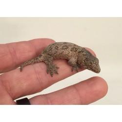 "New Caledonian Giant Geckos ""Leachies"""