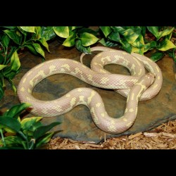 California Kingsnake - Lavender Albino Banana (2007 Female)