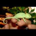 Veiled Chameleons (Babies)