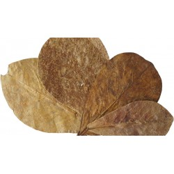 Indian Almond Leaves - SM - 5 Leaves (RSC)