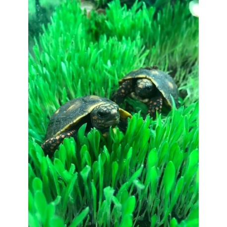 Red-footed Tortoise (Babies)