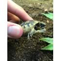 Marginated Tortoises (Babies)