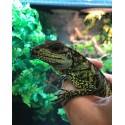 Weber's Sailfin Lizards (Babies)