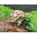 Sulcata Tortoises (Babies)