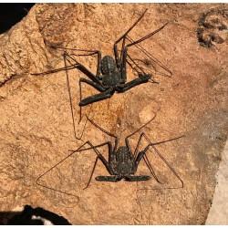 Tailless Whip Scorpions (Damon diadema)
