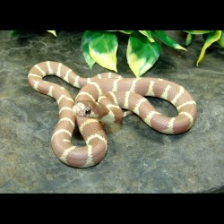 California Kingsnakes - Lavender Albino (Babies)