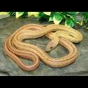 Baird's Rat Snakes (Babies)