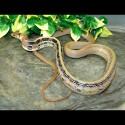 Radiated Rat Snakes (Babies)