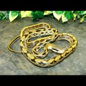 Taiwan Beauty Rat Snakes (Babies)
