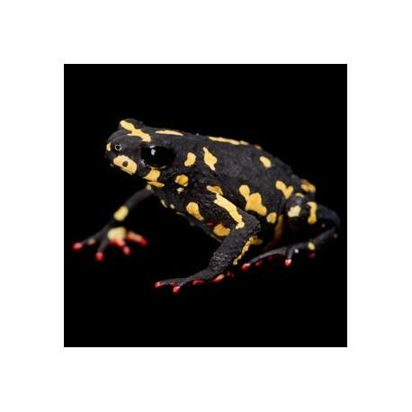 Bumble Bee Walking Toads