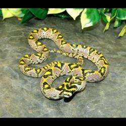 Mandarin Rat Snakes (Babies)