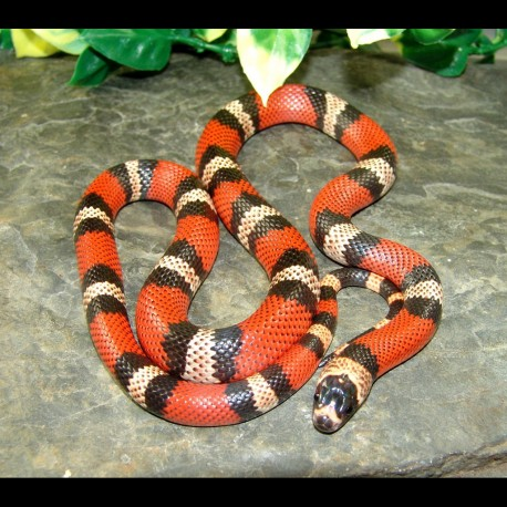 Honduran Milk Snakes (Lampropeltis triangulum hondurensis)