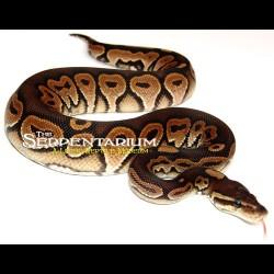 Cinnamon Ball Pythons (Babies)