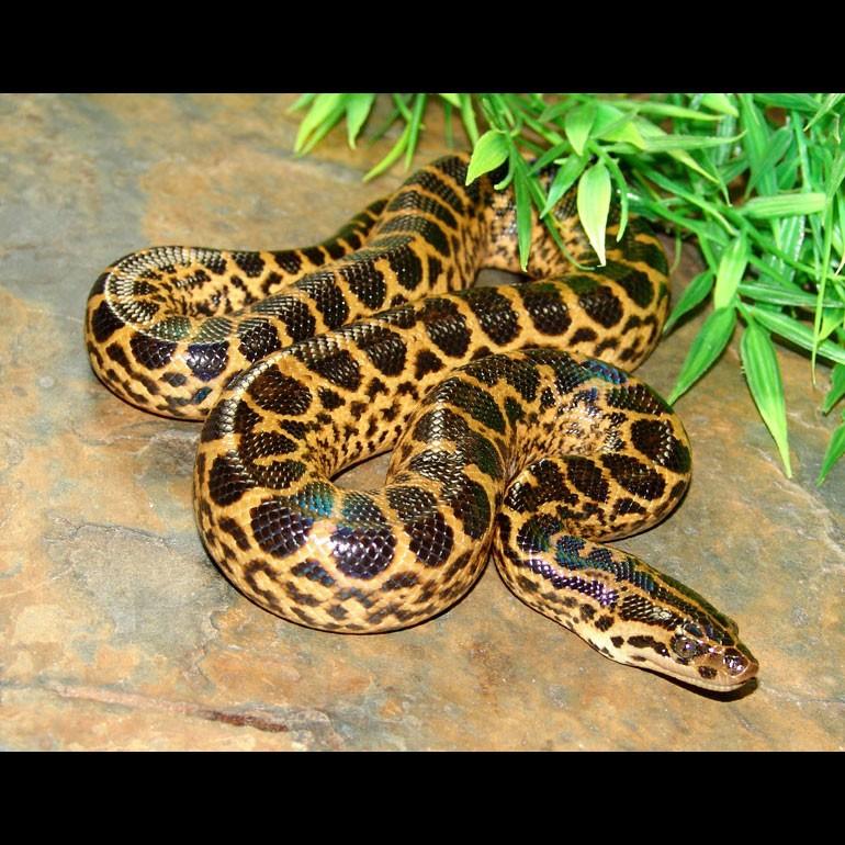 Baby yellow anaconda
