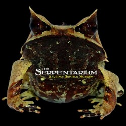 Malayan Leaf Frog