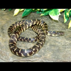 Florida Kingsnake - FK001F