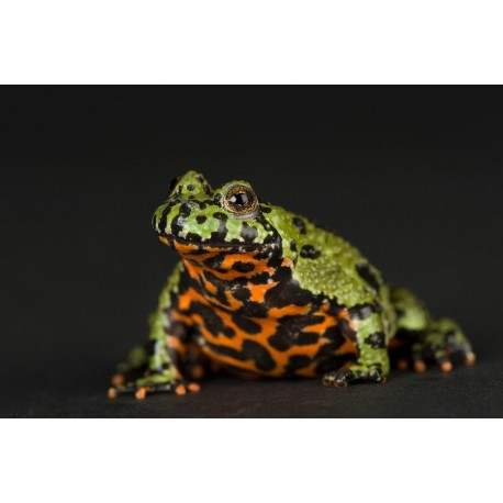 Fire-bellied Toads