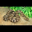 False Water Cobras (Babies)
