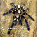 Poecilotheria metallica (Gooty Sapphire Ornamental Tarantula)