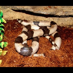Honduran Milk Snake - Anery (2007 Female)
