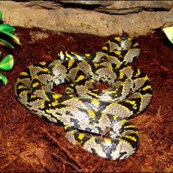 Mandarin Rat Snake (2008 Male)