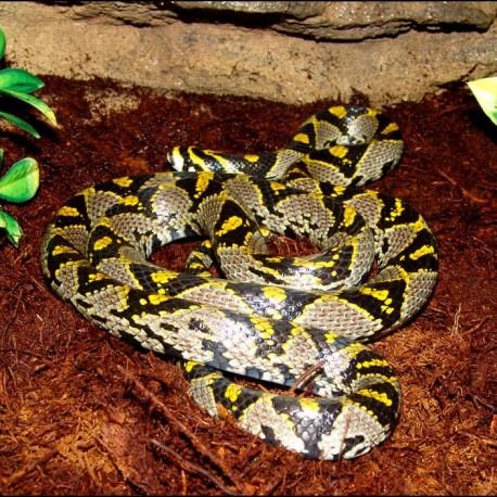 Mandarin Rat Snake (2008 Male)